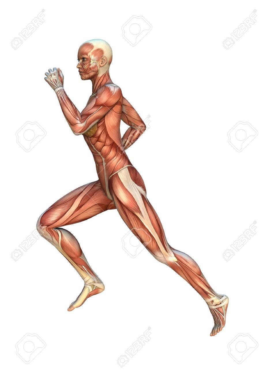 34242754-numérique-3d-rendent-d-une-figure-féminine-avec-le-muscle-maps-isolé-sur-fond-blanc